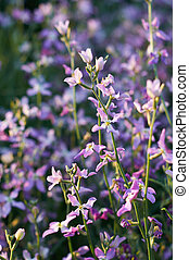 flowers of gillyflower or night violet on flowerbed
