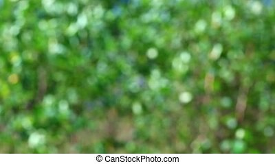Nice green nature foliage bokeh from birch tree leaves