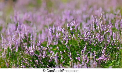 Calluna Vulgaris heather bush flapping in wind, macro view
