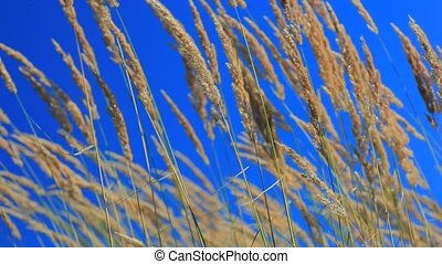 Native grass spikelets flapping on the wind in front of blue...