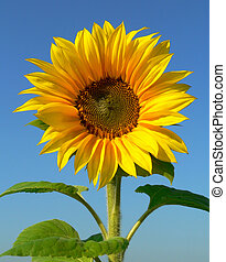 Sunflower and blue sky, symbolic of spring and summer.