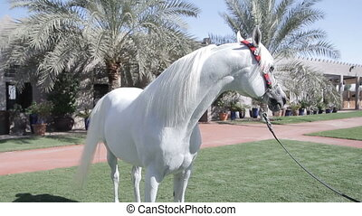 White Arab horse stays on a green meadow with palms...