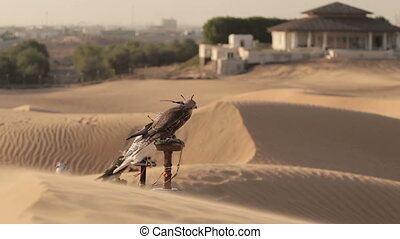 Falcons in desert, Dubai. Wind moves the sand of dunes