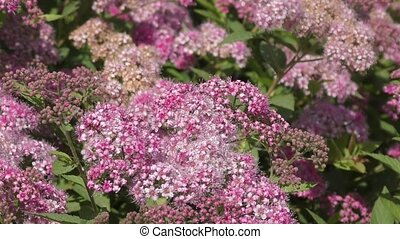 Spirea Flower Pink in the summer garden