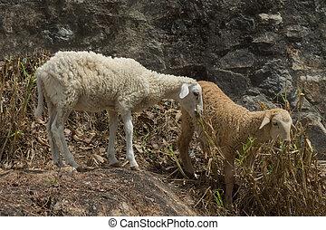 conjugal, mouton, ovis, bélier, agneau, dans, field.,...
