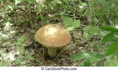Mushroom brown cap boletus in the forest
