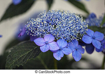 Blue lacecap hydrangea flower in the rainy season