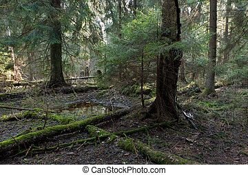 Coniferous stand in morning - Natural coniferous stand of...