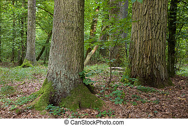 Group of old large trees oak mainly in deciduous...