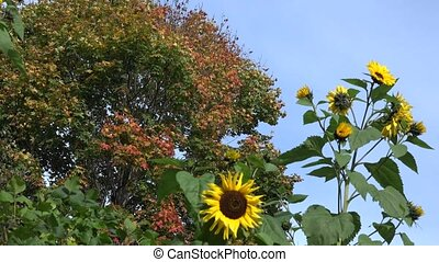 Maple tree with colorful leaves and sunflower blossom. Focus...