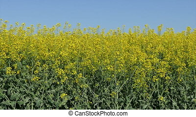 Rapeseed plant in field - Oil rape, canola plants in field...