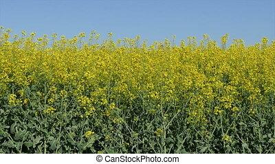 Rapeseed plant in field - Oil rape, canola plants in field...