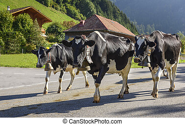 annual transhumance - Cows on the annual transhumance at...