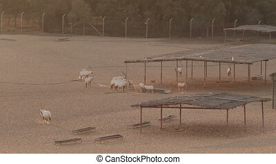 Arabian Oryxes in a desert, Dubai. Wind moves the sand of...