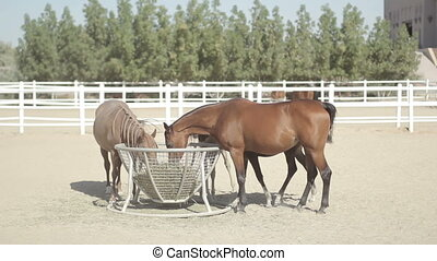 brown horses in the corral