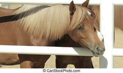 young brown horses in the corral - young brown horses walk...