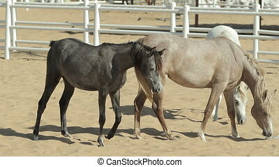 Young and beautiful horses in a corral Nice thoroughbred...