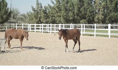 brown horses in the corral - brown horses walk in the corral...