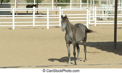 Young and beautiful horses in a corral. Nice thoroughbred...
