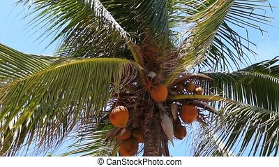 Top of Coconut Palm Tree - Top of coconut palm tree with...