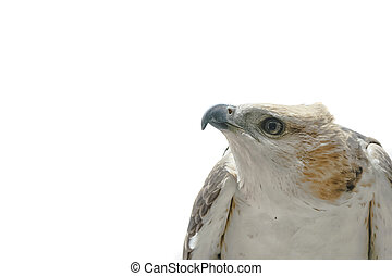 Portrait of beauty hawk ,Changeable Hawk Eagle (Nisaetus...