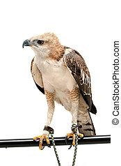 Portrait of beauty hawk ,Changeable Hawk Eagle (Nisaetus...