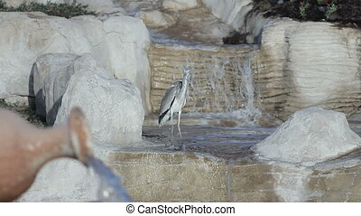 Milky stork bird in a lake in front of a waterfall with lake