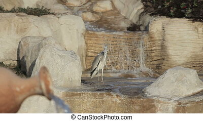 Milky stork bird in a lake in front of a waterfall with lake...
