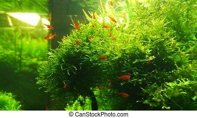 aquarium with beautiful orange fish and grass