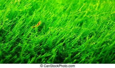 red shrimp with green grass in aquarium