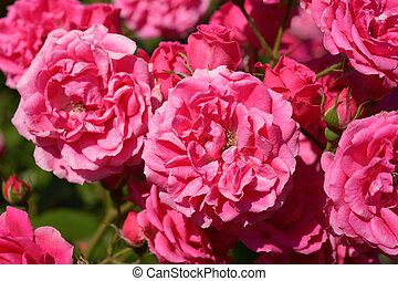 Pink roses in garden close-up