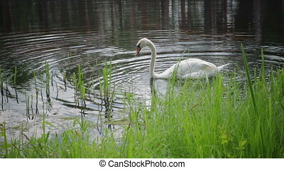 White mute swan on the lake - White beautiful swan on the...