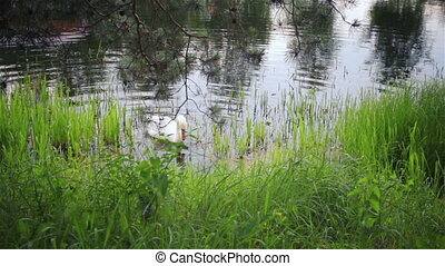 White beautiful mute swan on the la - White beautiful swan...