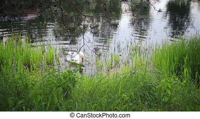 White beautiful mute swan on the la