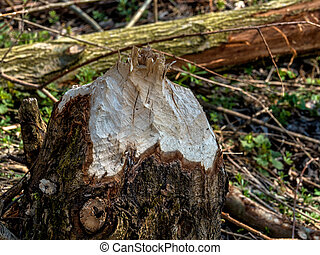 beaver veursachen damage to trees - from beaver damage...