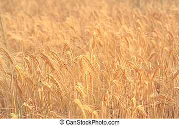 golden  wheat field ,cereal background