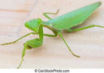 closeup green praying mantis on wooden background Mantis...