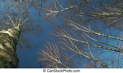 Tall trees birches against blue sky View from below Sunny...