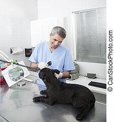 Happy Veterinarian Examining French Bulldog With Otoscope -...