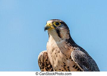 Kestrel falcon on blue background - Kestrel falcon with...