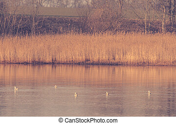 Birds in a quiet lake in the winter - Five birds in a quiet...
