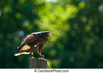 Steppe eagle on a wooden post looking for prey