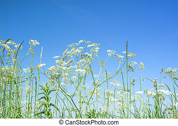 Cow parsley wildflowers in blue sky in the summer