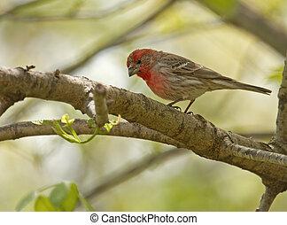House Finch.Carpodacus mexicanus - Male house finch,...