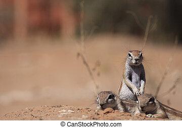 Ground squirrel - Three ground squirrels in the kalahari...