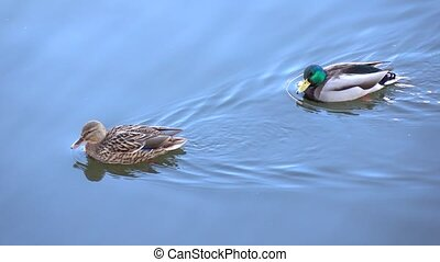 4K footage of floating drake and duck with blue sunny sky reflection on water
