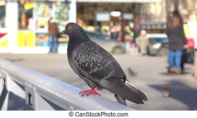 City pigeon on sunny day against blurred background. 4K...