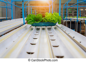 Hydroponic organic salad vegetable in farm, Thailand. Selective focus