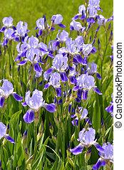 Blooming iris spring
