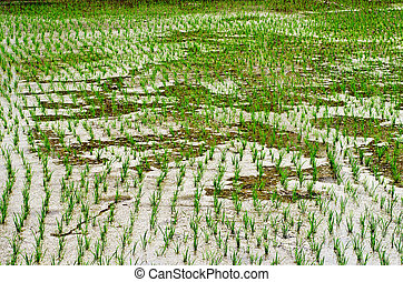 rice growing in the rice field - View of rice sprout in the...